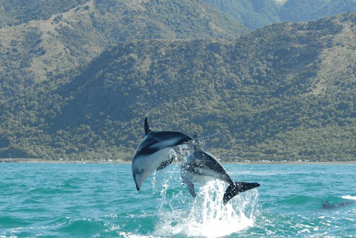 dolphins_noaa.jpg