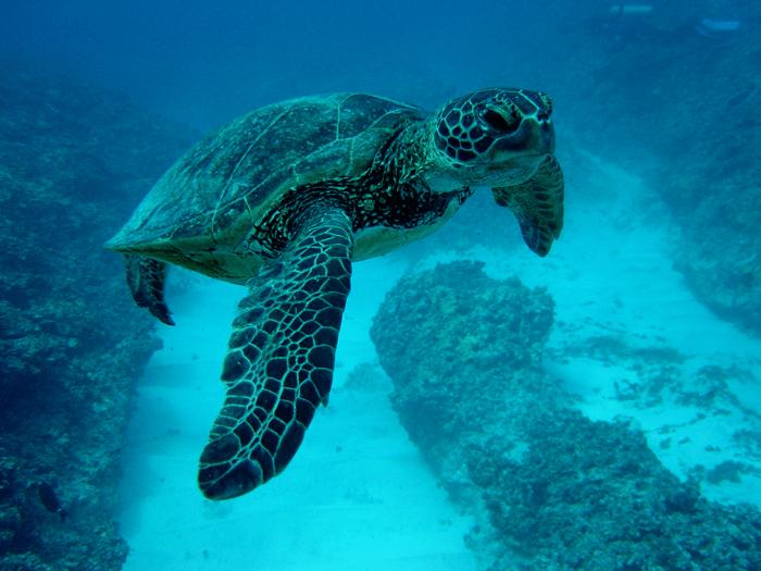 pmnm_sea_turtle_noaa.jpg